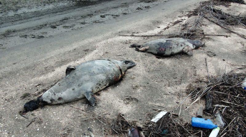 Мертвые каспийские тюлени. Казахстан.