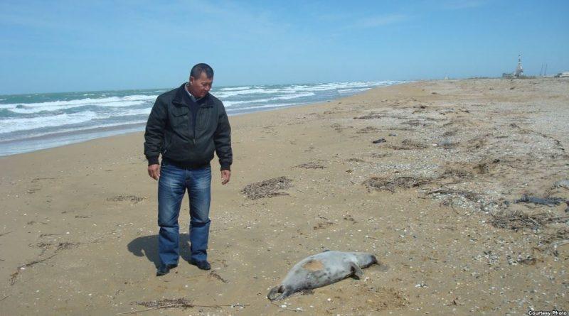 Мертвый каспийский тюлень. Казахстан.
