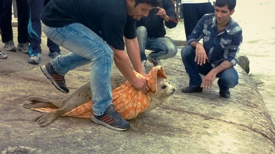 Выпуск каспийского тюленя после реабилитации. Каспийское море, Иран.