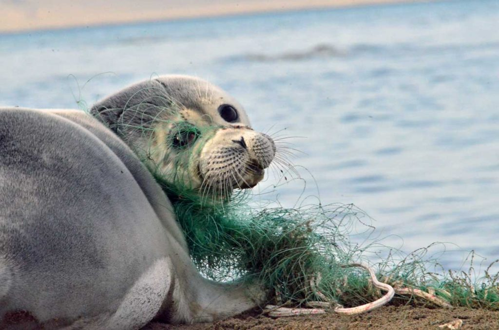 The Caspian seal injured with fishing gear. The Caspian Sea, the Kendirli Bay. Kazakhstan, 2017.
