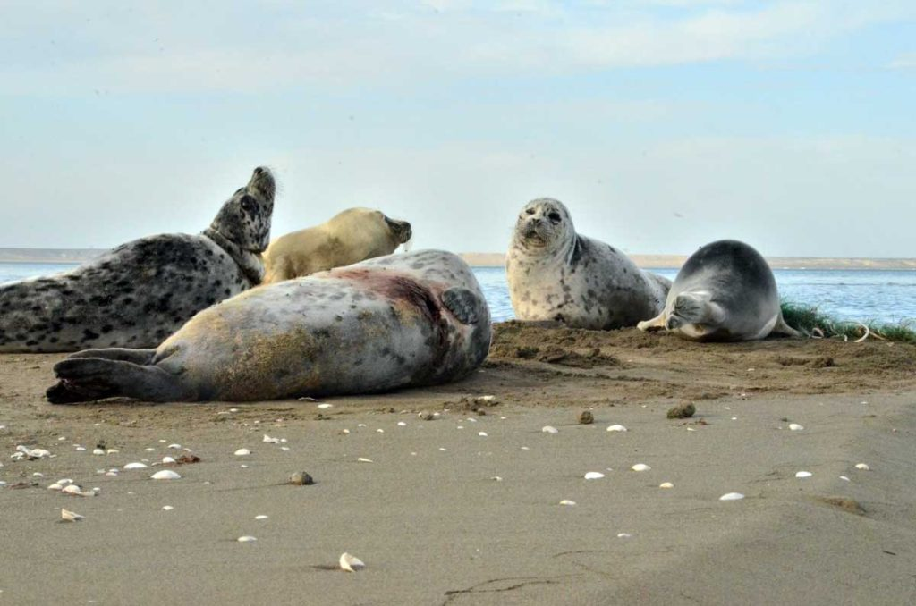 The Caspian seals injured with fishing gear. The Caspian Sea, the Kendirli Bay. Kazakhstan, 2017.