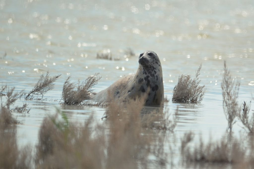 The Caspian seal. The Caspian Sea, the Komsomolets Bay. Kazakhstan, 2016.