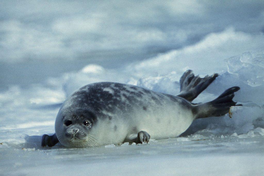 The juvenile Caspian seal. The Caspian Sea, Kazakhstan.