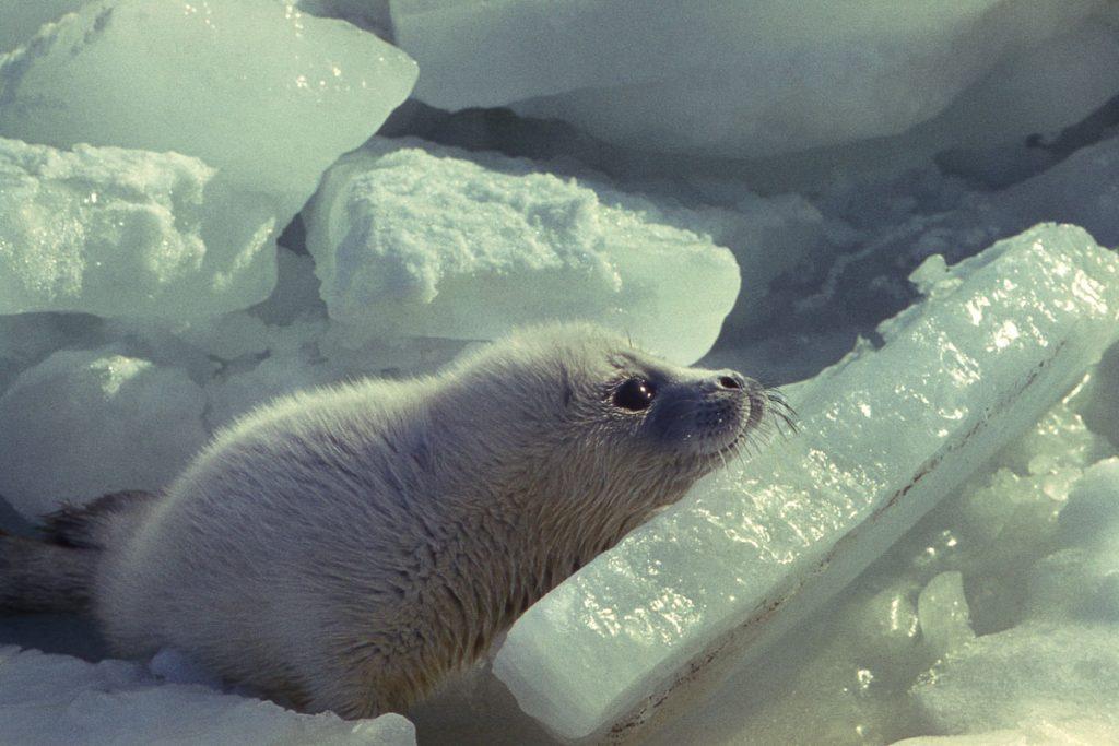 The Caspian seal pup. The Caspian Sea, Kazakhstan.