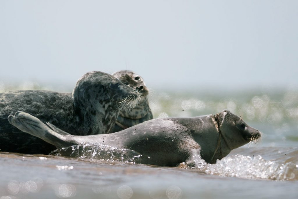 The Caspian seals, injured with fishing gear. Maliy Zhemchuzhniy Island, the Caspian Sea.