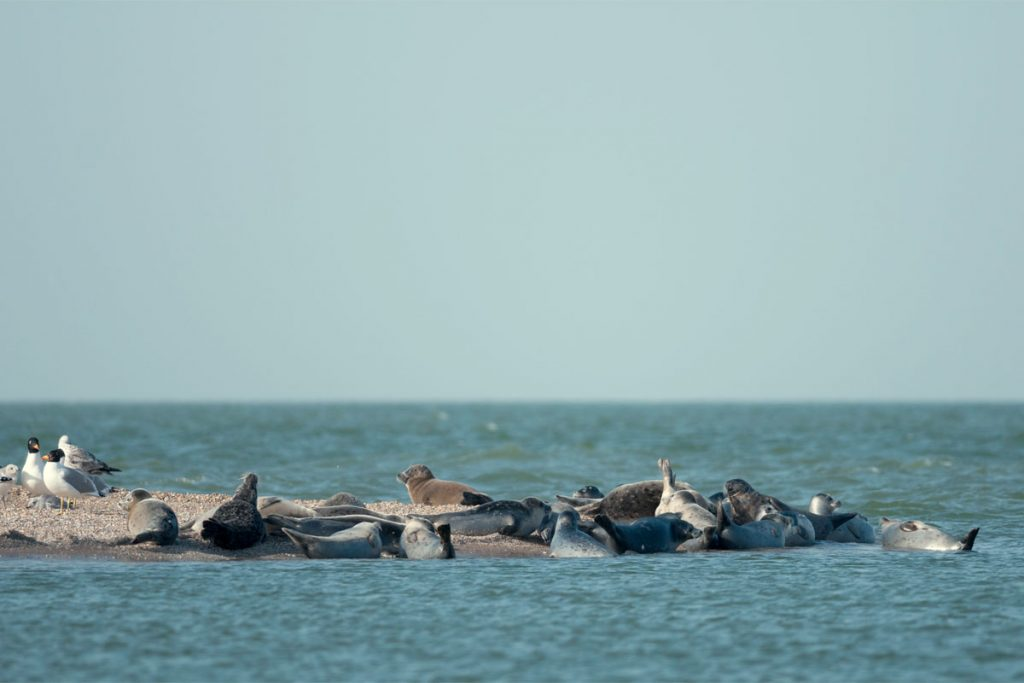 The Caspian seals. Maly Zhemchuzhny Island, the Caspian Sea.