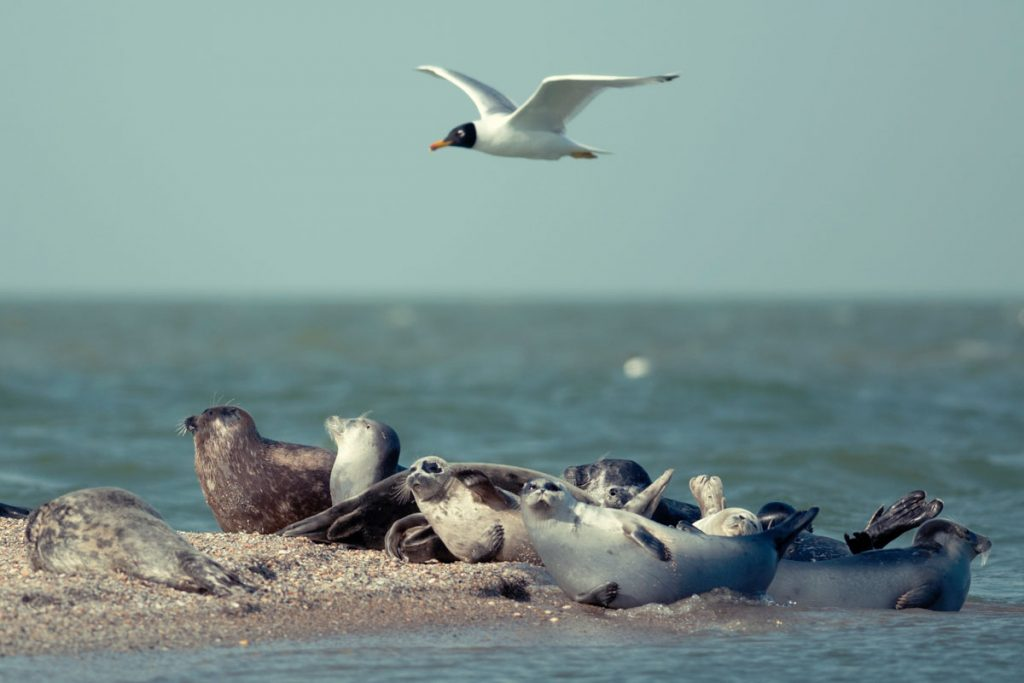 The Caspian seals. Maliy Zhemchuzhniy Island, the Caspian Sea.