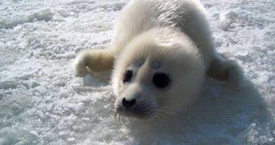 Проект спасения каспийского тюленя