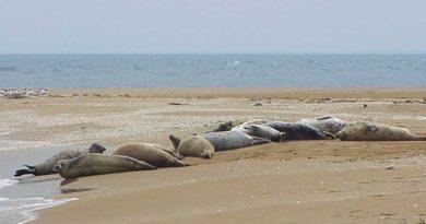 Численность каспийского тюленя на Огурджалы
