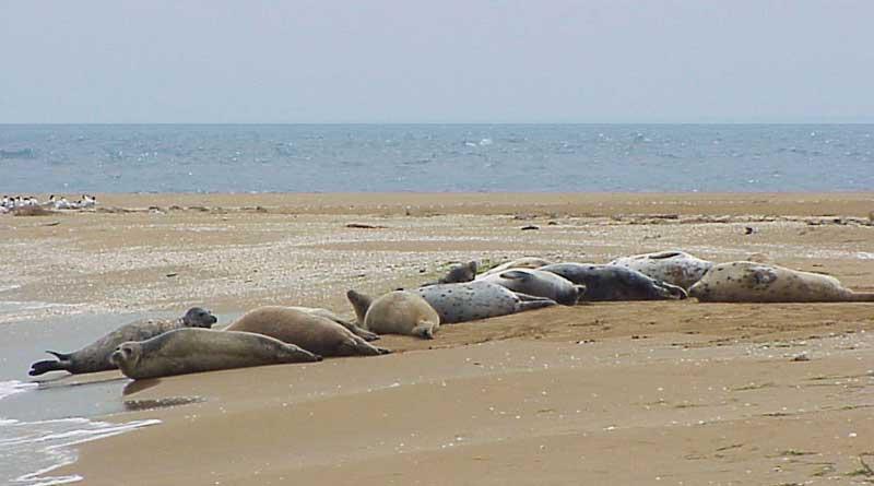 Каспийские тюлени, Туркменистан. Фото Ерохина П.И.
