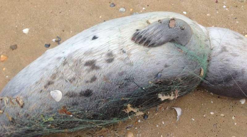 Мертвый каспийский тюлень. Казахстан. Фото природоохранной прокуратуры Мангистауской области