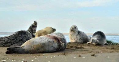 How to save the Caspian seal (Pusa caspica)?
