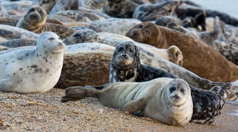 Каспийские тюлени, о. Малый Жемчужный. Фото Е. Полонского.