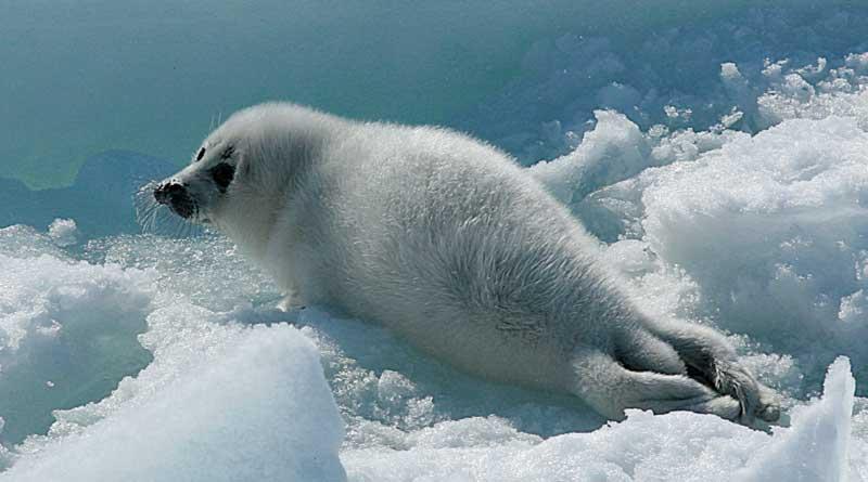 Белёк - детёныш каспийского тюленя. Северный Каспий