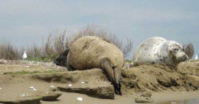 История каспийского тюленя. Промысел и исследования