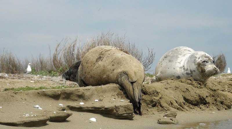 Линяющие каспийские тюлени, коса Кендирли, Казахстан