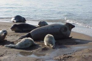 Caspian seals with their pups. The last whelping on Ogurchinskiy Island, Turkmenistan.