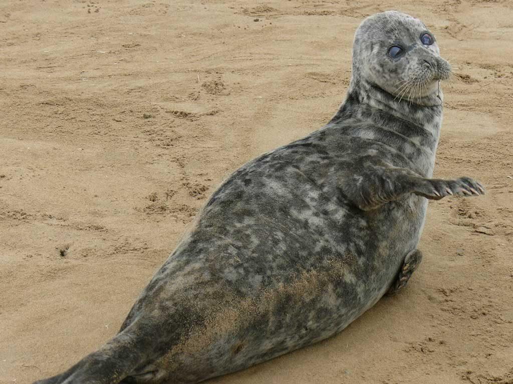 The Caspian seal. Ogurchinskiy Island, Turkmenistan, April – May, 2007-2008.