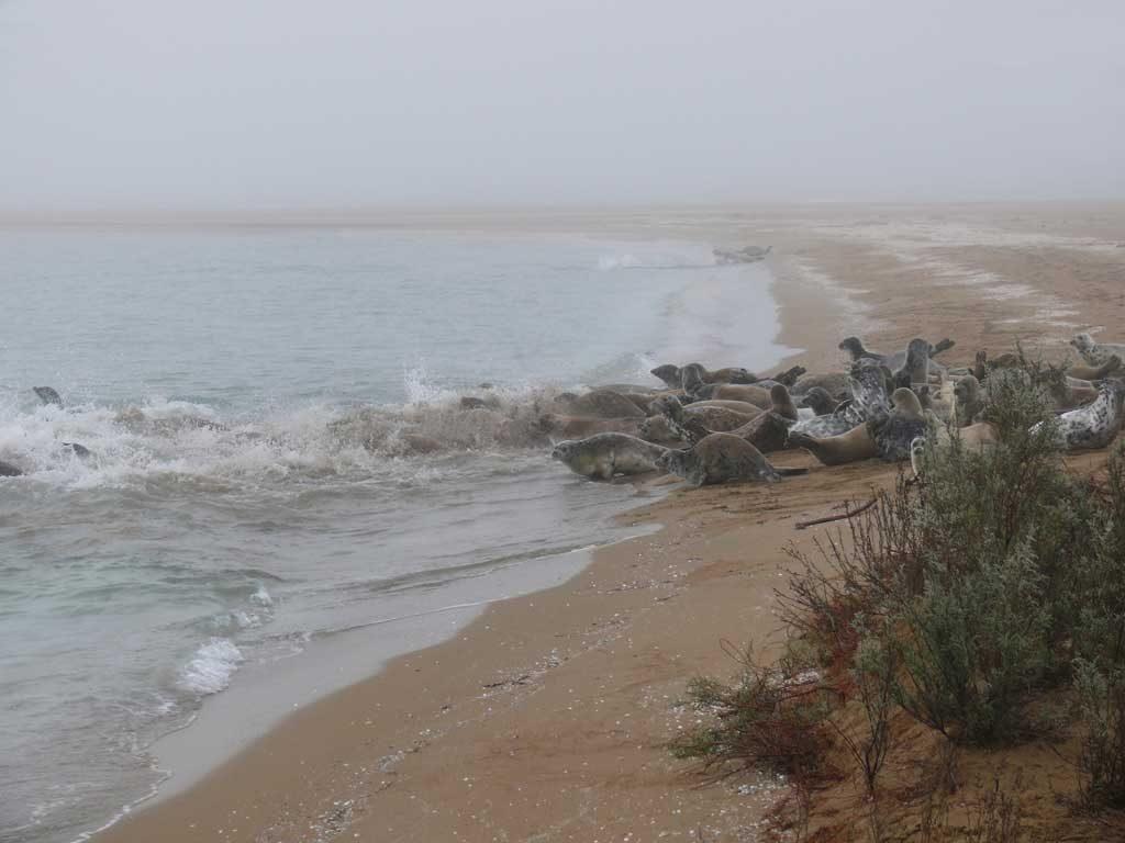 Каспийские нерпы. Остров Огурчинский, Туркменистан, апрель - май 2007-2008 гг.