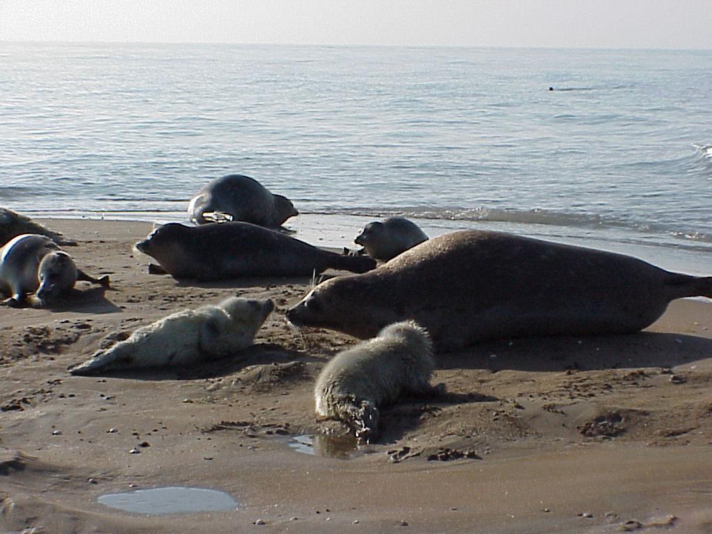 Каспийские нерпы со щенками. Последнее размножение на о. Огурчинский, Туркменистан, 7-15 февраля 2002 г.