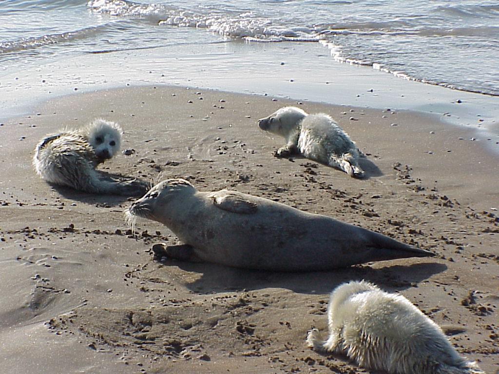 The Caspian seal pups. The last whelping on Ogurchinskiy Island, Turkmenistan, February 7-15, 2002.