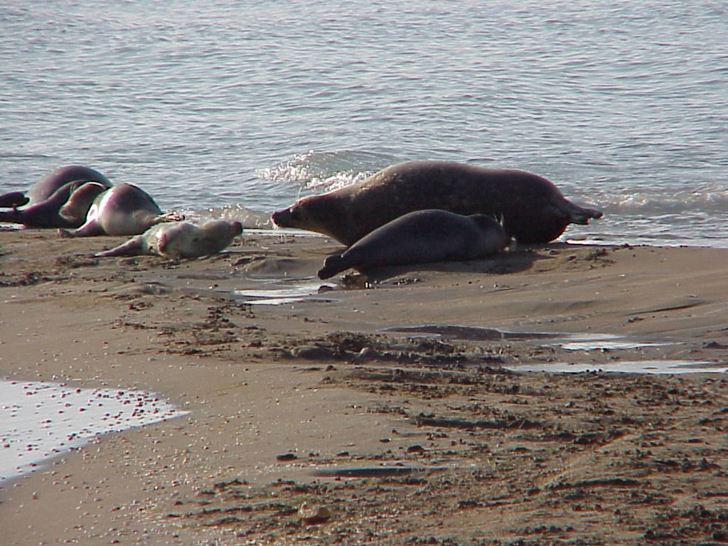 Caspian seals with their pups. The last whelping on Ogurchinskiy Island, Turkmenistan, February 7-15, 2002.