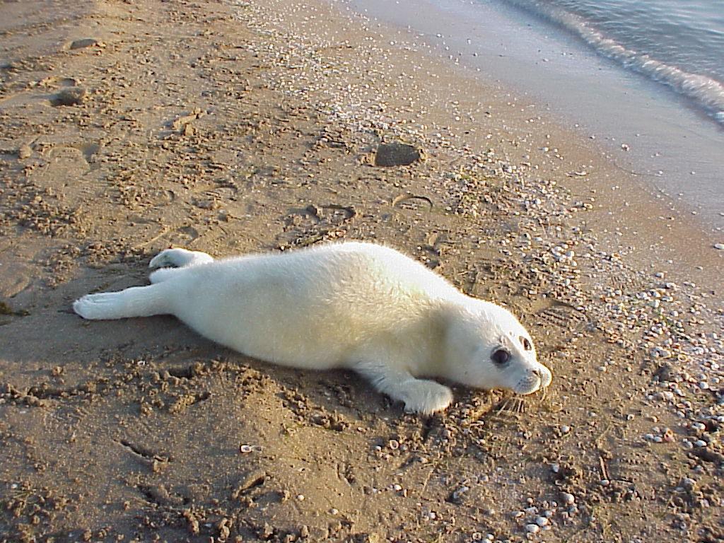 Белек каспийской нерпы. Последнее размножение на о. Огурчинский, Туркменистан, 7-15 февраля 2002 г.
