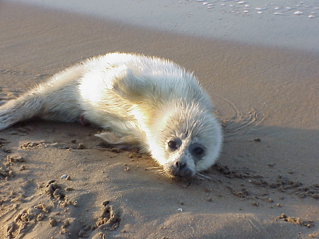 A white pup of the Caspian seal. The last whelping on February 7-15, 2002.