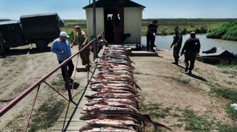 Sturgeon poaching, Chechen Island, Dagestan