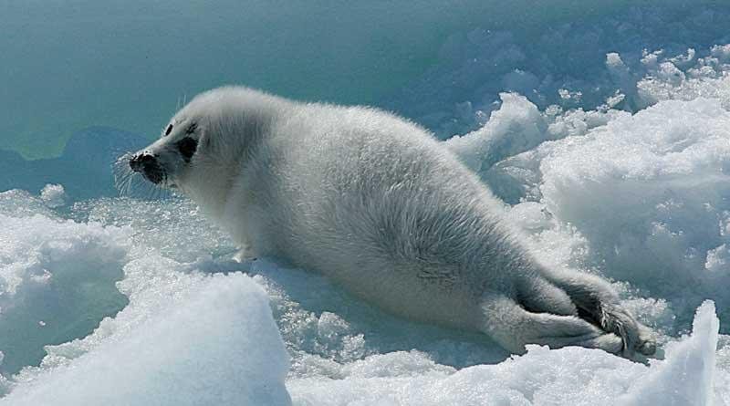 The Caspian seal pup. The Northern Caspian