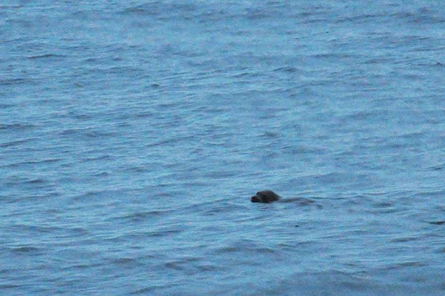 Каспийский тюлень. Фото Полины Делия.