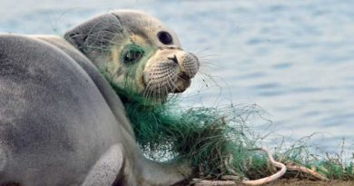 The Caspian seal will not be inscribed into the Russian Red Book. And not only this species.