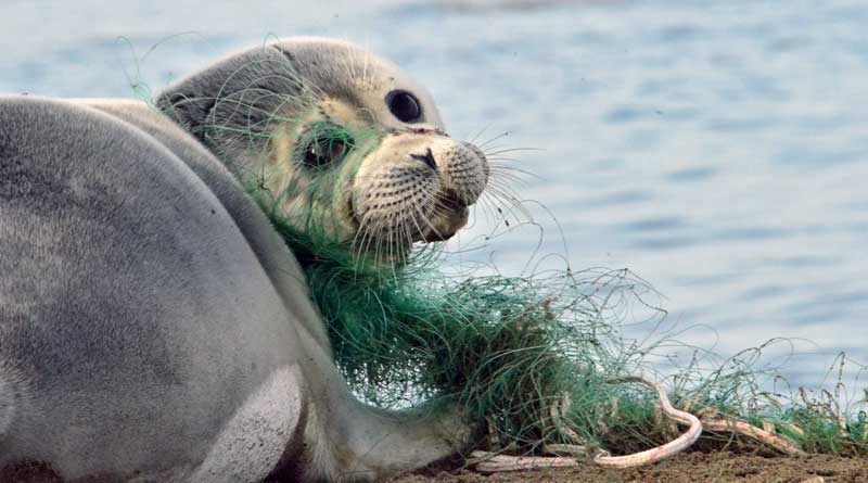 Каспийский тюлень в сетях. Фото Баймуканова М.Т.