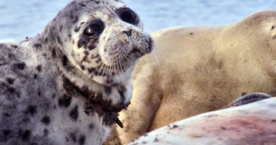 "The documentary film ""Save the Caspian Seal"""