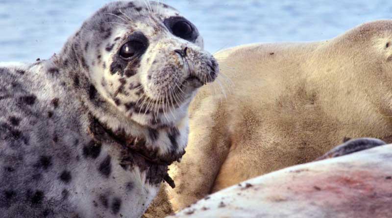 Каспийский тюлень, травмированный сетями. Кендирли.