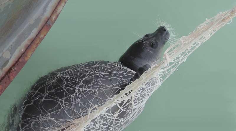 Каспийский тюлень в сетях. Казахстан