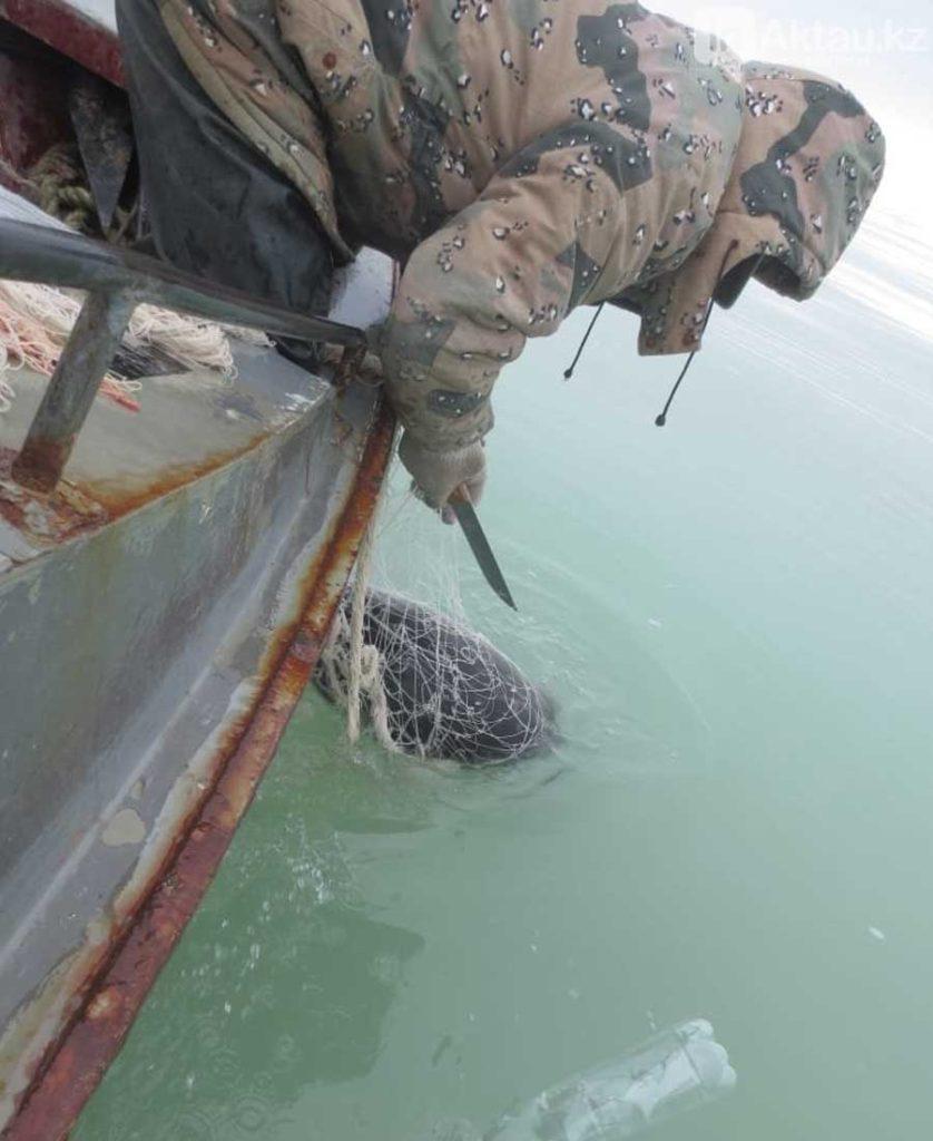 Сотрудники Бузачинской инспекции Мангистауской области освобождают каспийского тюленя.