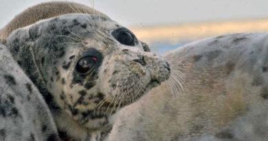 Минприроды России призвали включить каспийского тюленя в Красную книгу РФ