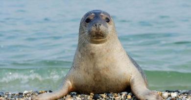 В Каспийском море исчезают лежбища тюленей