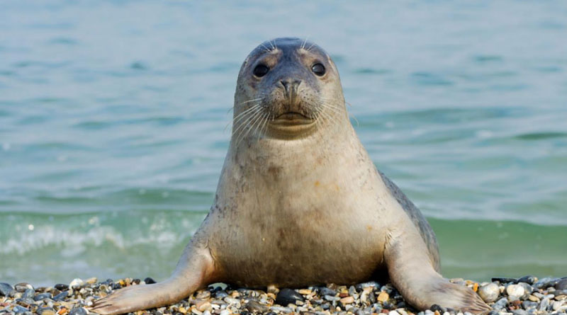 The Caspian seal.