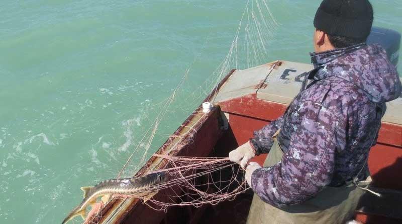 Осетров спасли, каспийского тюленя – не удалось