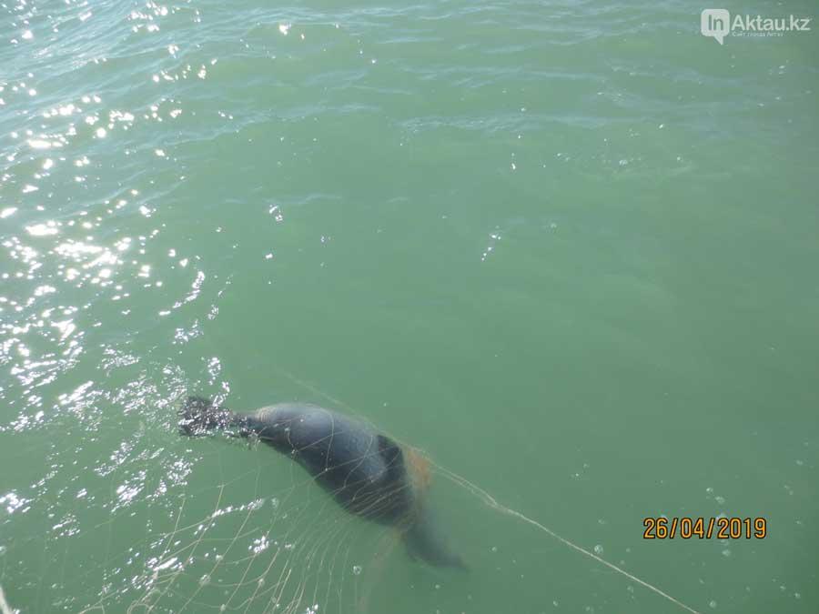 Погибший в браконьерских сетях каспийский тюлень.