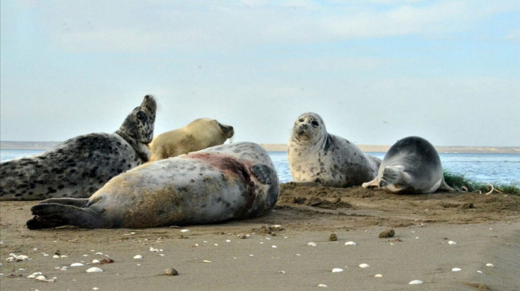 Раненные каспийские тюлени
