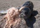 Беспечность рыбаков – одна из основных причин гибели каспийского тюленя
