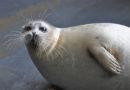 Каспийский тюлень может попасть в Красную книгу России