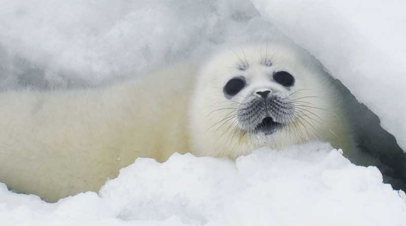 The Caspian seal pup.