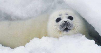 Из жизни каспийского тюленя