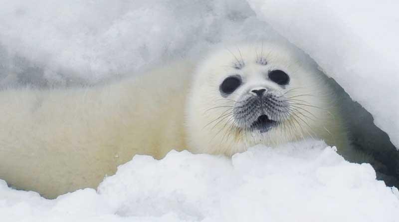 Белек - щенок каспийского тюленя