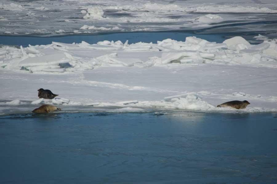 Каспийские тюлени, Северный Каспий, Казахстан.