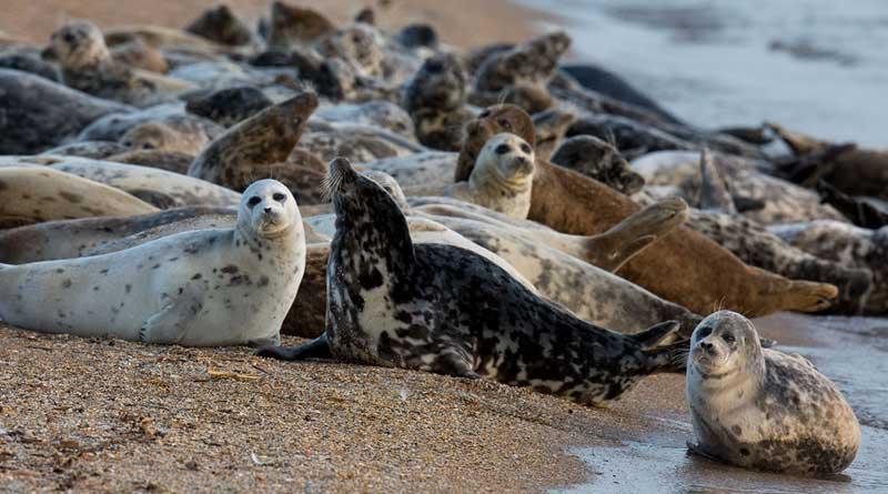 Caspian seals. Maly Zhemchuzhny Inland, the Caspian Sea, Russia. The photo by Evgeny Polonsky.